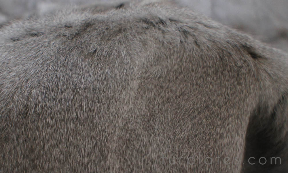 grey squirrel fur